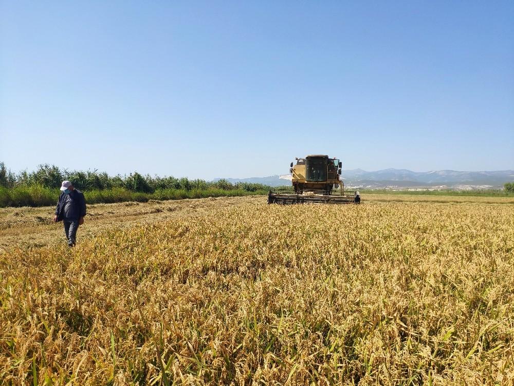 Silifke'de çeltik hasadına başlandı