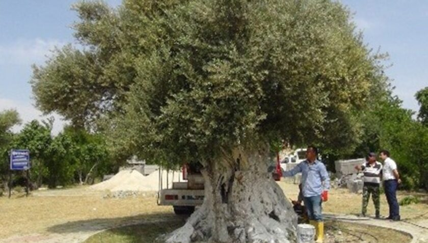 Anıt ağacın zeytini Cumhurbaşkanı Erdoğan'a hediye edilecek