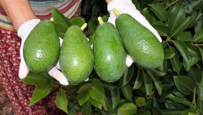 Avokado yağı için çalışmalara başlandı