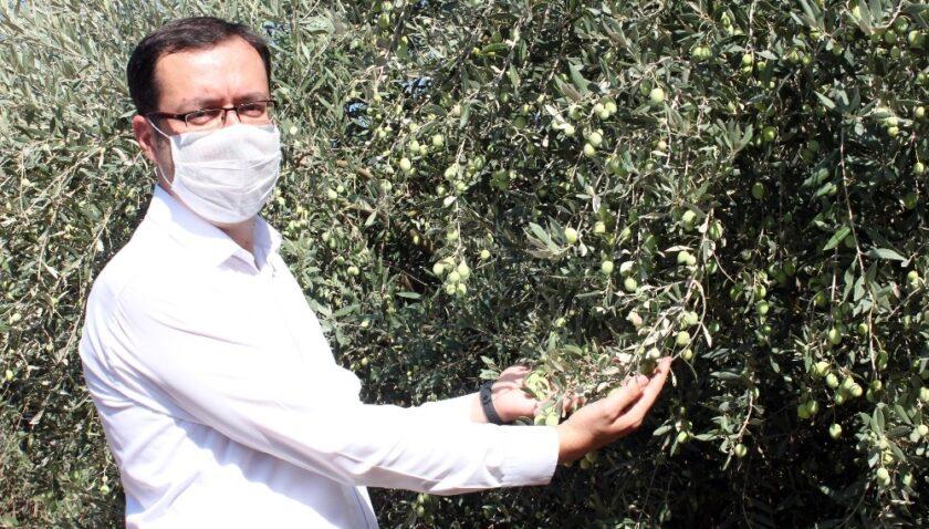 Mersin'de yerel zeytin genetik kaynakları koruma altında