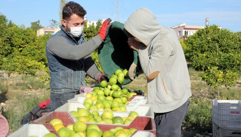 Tescilli Lamas limonu hasadı dualar eşliğinde başladı
