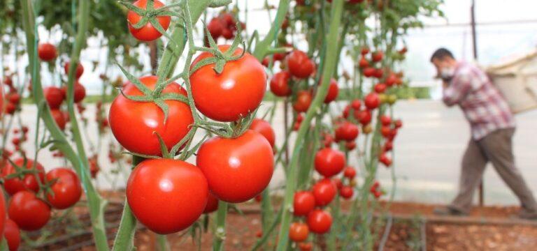 Rusya'nın kotayı arttırması domates piyasasını umutlandırdı