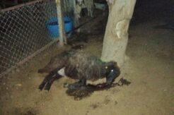 Mersin'de zehirlenen 14 koyun telef oldu