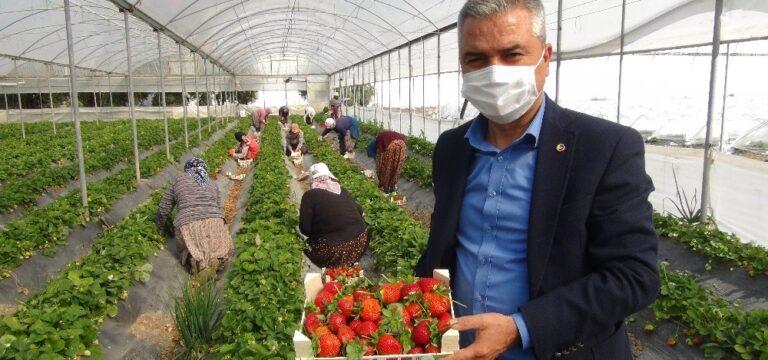 Silifke'de çilek ihracatı başladı