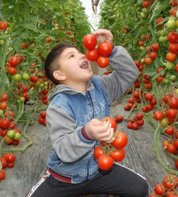 Silifke'de 30 bin ton örtü altı domates rekoltesi bekleniyor