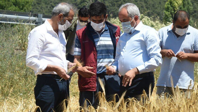 Tarsus Belediyesinin ektiği ata tohumlar hasat edildi
